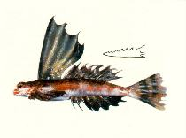 Image of Synchiropus rameus (High-finned dragonet)