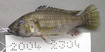 Image of Thoracochromis brauschi