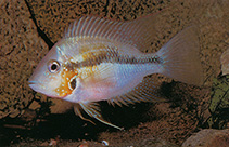 Image of Thorichthys helleri (Yellow cichlid)