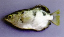 Image of Toxotes microlepis (Smallscale archerfish)