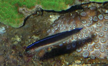 Image of Trachinops brauni (Bluelined hulafish)