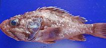 Image of Trachyscorpia cristulata cristulata (Atlantic thornyhead)