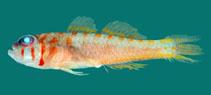 Image of Trimma haima (Cut-face pygmygoby)