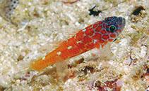 Image of Trimma lantana (Lantana pygmygoby)
