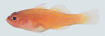 Image of Trimma milta (Red-earth pygmygoby)