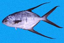 Image of Trachinotus rhodopus (Gafftopsail pompano)
