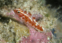Image of Trimma rubromaculatum (Red-spotted pygmygoby)