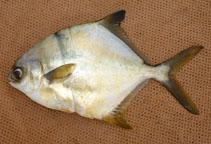 Image of Trachinotus teraia (Shortfin pompano)