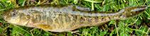 Image of Triplophysa tibetana