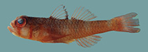 Image of Trimma unisquame (Blackmargin pygmygoby)