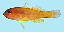 Image of Trimma xanthum (Yellow-red pygmygoby)