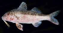 Image of Upeneichthys lineatus (Blue-striped mullet)