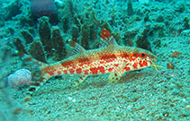 Image of Upeneus tragula (Freckled goatfish)