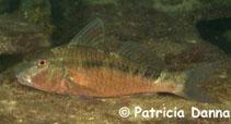 Image of Upeneichthys vlamingii (Bluespotted goatfish)
