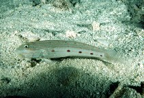 Image of Valenciennea longipinnis (Long-finned goby)