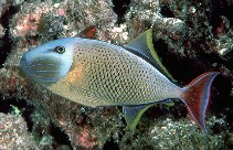 Image of Xanthichthys mento (Redtail triggerfish)