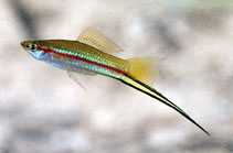 Image of Xiphophorus hellerii (Green swordtail)