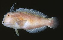 Image of Iniistius dea (Blackspot razorfish)