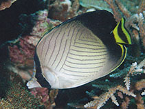 Image of Chaetodon decussatus (Indian vagabond butterflyfish)