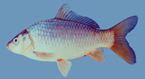 Image of Cyprinus intha