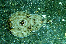 Image of Diplobatis ommata (Ocellated electric ray)