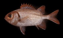 Image of Myripristis aulacodes (Furrowed soldierfish)