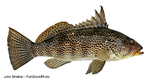 Image of Paralabrax maculatofasciatus (Spotted sand bass)