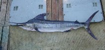Image of Kajikia audax (Striped marlin)